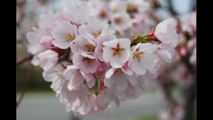 Cherry Blossom Festival Promo Video~CBS Sunday Morning